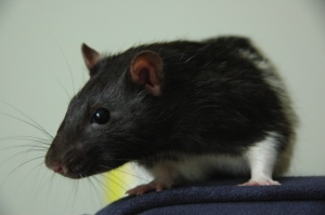 My pet rat, Monk, who loved jumping off couches.